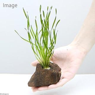 (水草 熱帯魚)置くだけ簡単 スクリューバリスネリア 穴あき溶岩石付(無農薬)(1個) 本州・四国限定[生体]