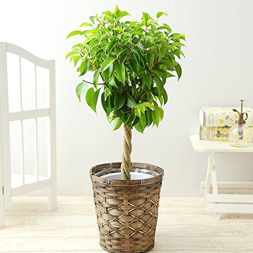 観葉植物は一人暮らしの大学生におすすめのプレゼント