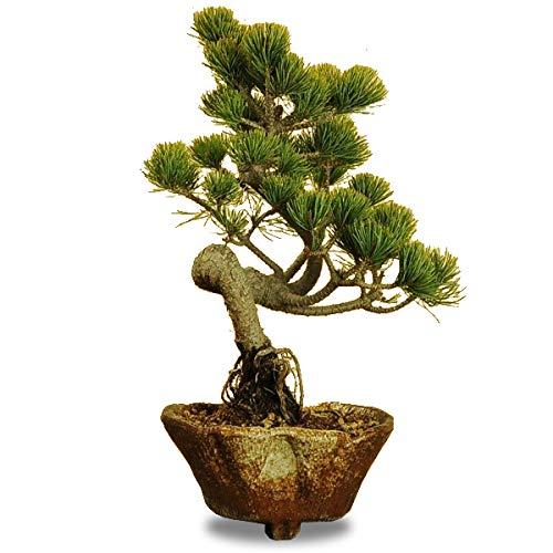 小品盆栽:五葉松60代の男性がもらって嬉しいプレゼント