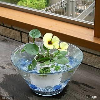 (ビオトープ/水辺植物) 窓辺の虞美人草(ぐびじんそう) ウォーターポピーのセット 本州・四国限定[生体]