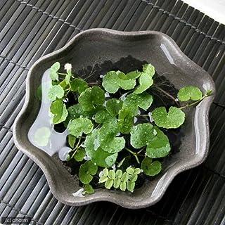 (水草)私の小さなアクアリウム かわいい丸葉のアマゾンチドメグサとオオサンショウモ(益子焼 苔受皿 深大 焼締) 本州・四国限定[生体]