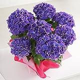 母の日 あじさい パープルビューティー 紫 鉢花 フラワーギフト プレゼント 鉢花 紫陽花 アジサイ
