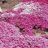 芝桜(シバザクラ):ミックス24株セット(一平米分)