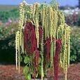 150 AMARANTHUS GREEN TAILS Amaranthus Caudatus Flower Seeds