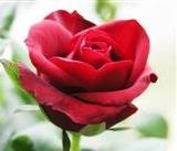Red Rose Buds & Petals, Whole - Wildcrafted - Rosa gallica (454g = One Pound) Brand: Herbies Herbs