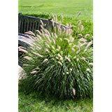 Fountain Grass - 100 Seeds, Pennisetum Alopecuroides 'Hameln' Dwarf Fountain Grass, Ornamental Grass