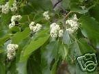 Hovenia dulcis JAPANESE RAISIN TREE Seeds!