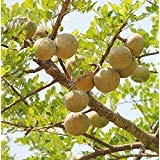 Bael Fruit Tree 8 Seeds - Aegle - Wood Apple