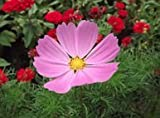 Cosmos Dwarf Pink Flower Seeds, 750+ Premium Heirloom Seeds, Daydream, Beautiful Pink Color! Bright & Perfect for your home flower garden!, 95% Germination Rates, (Isla's Garden Seeds),Highest Quality