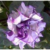 Purple Moonflower / Datura Metel seeds 5 SEEDS NICE! by HG