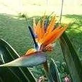 10 Seeds Queen's Bird-of Paradise (Strelitzia reginae) Landscaping Flower