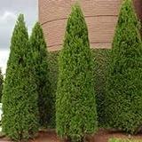 New Arborvitae Tree Shrub Bush Evergreen , (Arborvitae Occidentalis) or (Thuja Occidentalis) , 150 Seeds !
