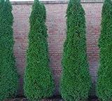 Emerald Arborvitae - Live Plants 2 Feet Tall by DAS Farms (No California)
