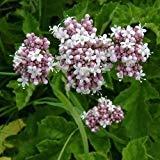 Garden Heliotrope Herb Seeds (Valeriana Officinalis) 200+Seeds (400+)