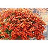 Nemesia Seeds- Orange Prince - Nemesia Strumosa Flowers- Wonderful in containers (100 Seeds)
