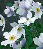 "Wild Swan Windflower Plant - Anemone sylvestris - Bright Shade - 4"" Pot"