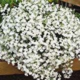 50+ White Trailing Lobelia Regatta Perennial Flower Seeds / Great for Hanging Baskets
