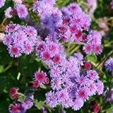 50+ Purple Tycoon Ageratum Flower Seeds SELF Seeding Annual