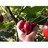 25 Tamarillo Seeds A.k.a.tree Tomato Organic, Non-gmo Seeds