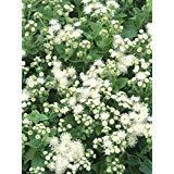 Floss Flower Seeds,Ageratum houstonianum,Cloud Nine White-PEL,Early Variety. (400 Seeds)
