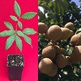 Longan Dimocarpus Dragon Eye Kohala Seedling Plant Tropical Fruit Tree Bonsai