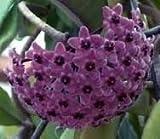 Hoya carnosa Sky Blue - Hindu rope - Wax plant - 10 seeds