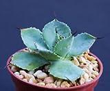 "Agave potatorum, Exotic Rare Garden Succulent air Plant Cactus Bonsai 4"" Pot"