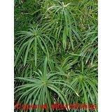 50 UMBRELLA PLANT CYPERUS Alternifolius Papyrus Grass Umbrella Palm Flower Seeds