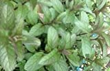 Chocolate Mint Live Plant by Chocolate Mint - Live Plant
