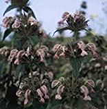25 Seeds Phlomis Samia Perennial