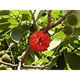 5 Seeds of Broussonetia Papyrifera Paper Mulberry Tree