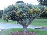 10 Seeds Dracaena draco (Dragon's Blood Tree) Tree of the Ancients