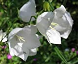 Peach-Leaved White Bellflower - Campanula persicifolia alba - Quart Pot