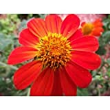 New Tithonia Rotundifolia ' Torch ' - Sunflower , MEXICAN SUNFLOWER ' Torch ' , 150 + Seeds !