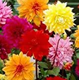 (3) Beautiful Flowering Blooms Dahlia Decorative Mix Bulb/rhizome/root/plant Perennial