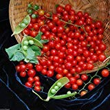 Currant Sweet Pea Red Tomato 25 Seed Natures Perfect Delicious Little Snacks