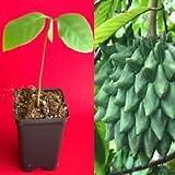 Rollinia Deliciosa Biriba Potted Plant Tropical Tree