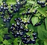 Solanum burbankii 10 Seeds Sunberry Certified Organic garden huckleberry Easy to grow annual or container plant year round Houseplant