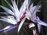 New Bird of Paradise Giant White Flower,Strelitzia Nicolai House Plant 10 Seeds !