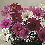 Cosmos Flowers Seed (Cosmos Dwarf Sensation Mix )1000 Seed - Covers 200 Sq.ft.