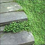 Kenilworth Ivy Seeds (Cymbalaria Muralis) 200+Seeds (200+)