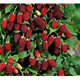 Vancouver Island Tayberry Seeds - Raspberry / Blackberry Cross Breed - 50 Seeds