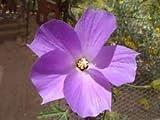 Plentree Seeds Package: Alyogyne Huegelii     _Seeds