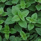 """Clovers Garden Italian Oregano Plant , Non - GMO , Two (2) Live Plants - Not Seeds - Each 3"""" to 7"""" Tall - In 3.5 Inch Pots"""