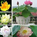 12 Aquatic Water Lily Seeds (Mixed Colors Lotus Plant)