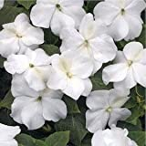 Outsidepride Impatiens Baby White - 1000 Seeds