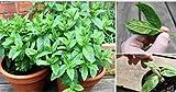 100 Seeds Lemon Mint Seeds Aromatic Herb Plant Mentha Arvensis Seeds Bonsai Herb Plants Edible #32837984256ST