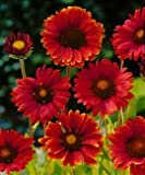 Burgundy Blanket Flower - 50 Seeds, 300 Milligrams - Gaillardia