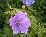1 Packet of 20 Seeds Blue Hibiscus - Malvaceae - Alyogyne Huegelii