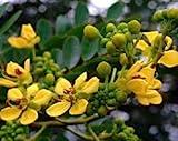 New Cassia Hebecarpa - Senna , WILD CASSIA , 5 ' Tall PERENNIAL , Yellow Flower , 25 + Seeds !